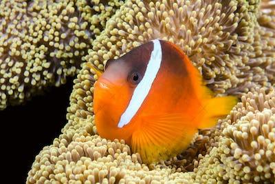 Playful orange clownfish
