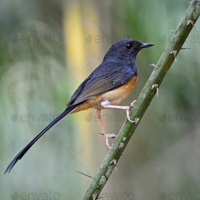 juvenile male White-rumped Shama