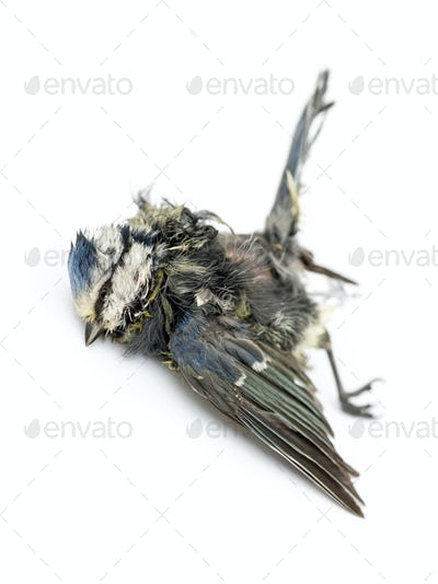 Dead Blue tit lying on the back, in state of decomposition, Cyanistes caeruleus, isolated on white