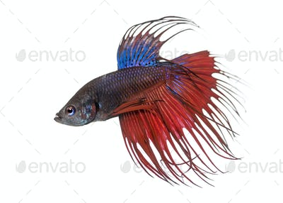 Side view of a Siamese fighting fish, Betta splendens, isolated on white