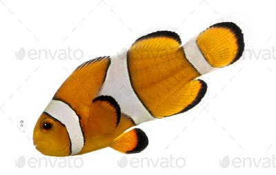 Ocellaris clownfish bubbling, Amphiprion ocellaris, isolated on white