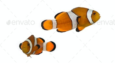 Two Ocellaris clownfish, Amphiprion ocellaris, isolated on white