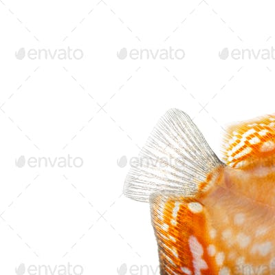 Close-up of a Red pigeon blood discus' caudal fin, Symphysodon aequifasciatus, isolated on white