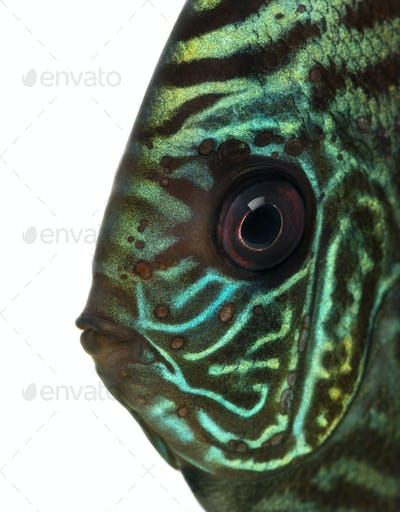 Close-up of a Blue snakeskin discus' head, Symphysodon aequifasciatus, isolated on white