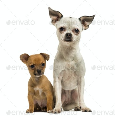 Chihuahua adult and puppy sitting together, 3 months old, isolated on white