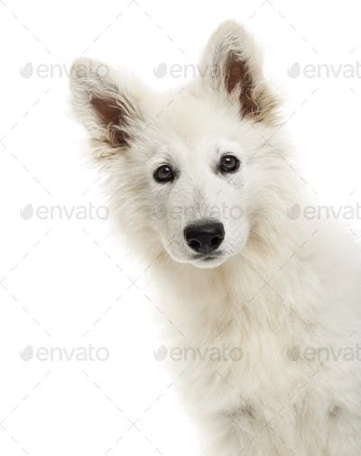 Close-up of a Swiss Shepherd Dog puppy looking at the camera, 3 months old, isolated on white