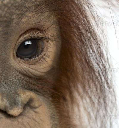 Close-up of a young Bornean orangutan's eye, Pongo pygmaeus, 18 months old, isolated on white
