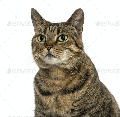 Close-up of a European shorthair looking away, isolated on white