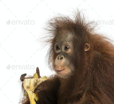 Close-up of a young Bornean orangutan eating a banana, Pongo pygmaeus, 18 months old