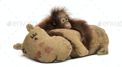 Young Bornean orangutan hugging its burlap stuffed toy, looking sad, Pongo pygmaeus, 18 months old