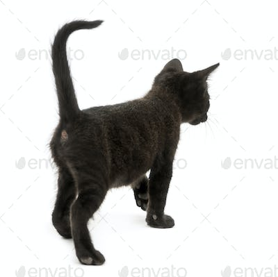 Rear view of a Black kitten walking, 2 months old, isolated on white