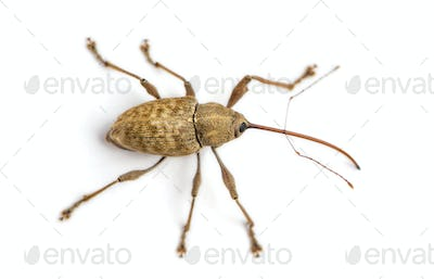 View from up high of a Acorn weevil, Curculio glandium, isolated on white