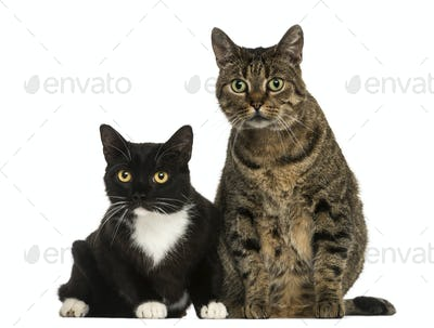 Front view of two European shorthair cats, isolated on white