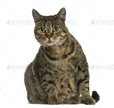 European shorthair sitting, looking at the camera, isolated on white