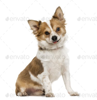 Chihuahua sitting, sticking the tongue out, 7 months old, isolated on white