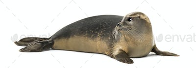 Common seal lying, looking away, Phoca vitulina, 8 months old, isolated on white