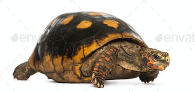 Red-footed tortoise, Chelonoidis carbonaria, isolated on white