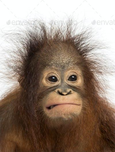Close-up of a young Bornean orangutan making a face, Pongo pygmaeus, 18 months old