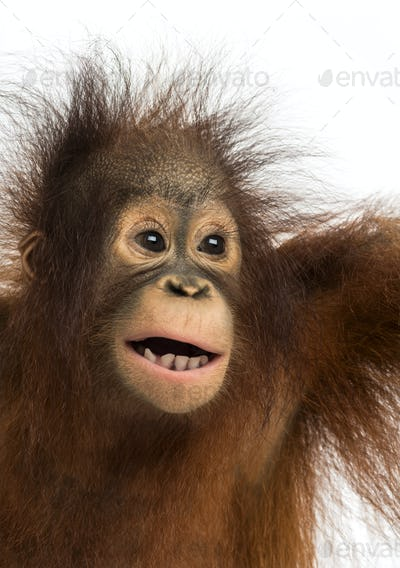 Close-up of a young Bornean orangutan, mouth opened, Pongo pygmaeus, 18 months old