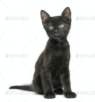 Black kitten sitting, looking up, 2 months old, isolated on white
