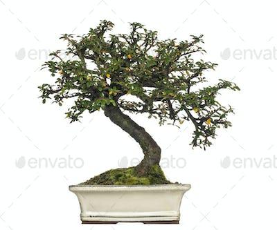 Cotoneaster horizontalis bonsai tree, isolated on white