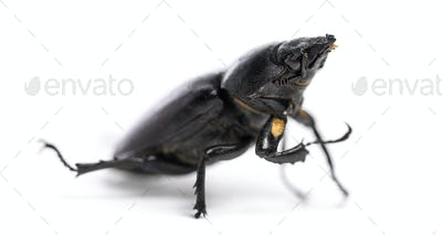 Dead Stag Beetle, Lucanus cervus, isolated on white