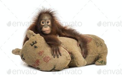 Young Bornean orangutan hugging its burlap stuffed toy, Pongo pygmaeus, 18 months old