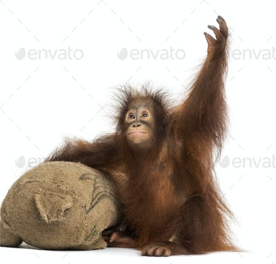 Young Bornean orangutan with its burlap stuffed toy, reaching up, Pongo pygmaeus, 18 months old