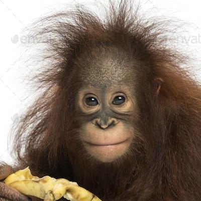 Close-up of a Young Bornean orangutan eating a banana, looking at the camera, 18 months old