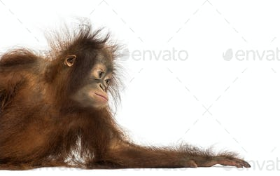 Side view of a young Bornean orangutan leaning on its arm, Pongo pygmaeus, 18 months old