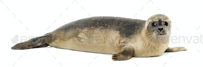 Side view of a Common seal lying, looking at the camera