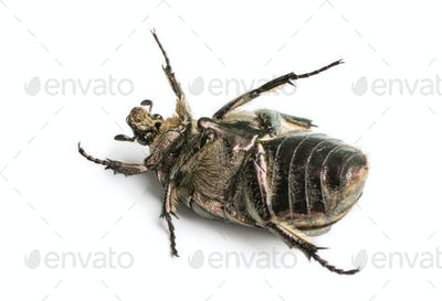 Rose chafer lying on the back, Cetonia aurata, isolated on white