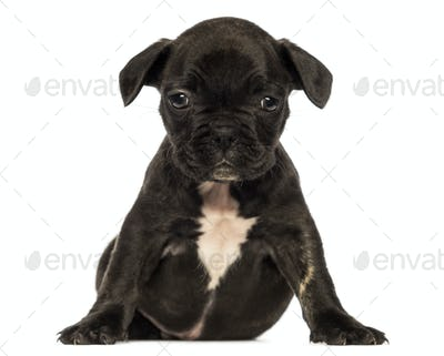 Front view of a French bulldog puppy sitting, looking at the camera, isolated on white