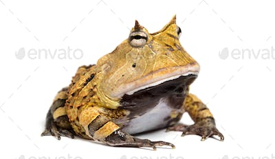 Argentine Horned Frog, Ceratophrys ornata, isolated on white