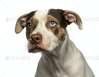 Close-up of a wall-eyed crossbreed dog looking away, isolated on white
