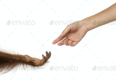 Bornean orangutan and human hands reaching at each other, Pongo pygmaeus, 18 months old