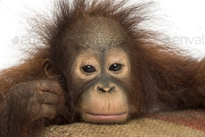 Close-up of a young Bornean orangutan looking tired, looking at the camera, 18 months old