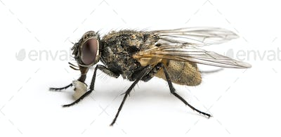 Side view of a dirty Common housefly with larva, Musca domestica, isolated on white