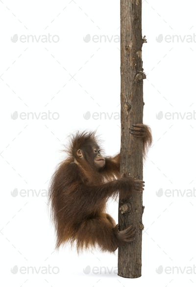 Side view of a young Bornean orangutan climbing on a tree trunk, Pongo pygmaeus, 18 months old