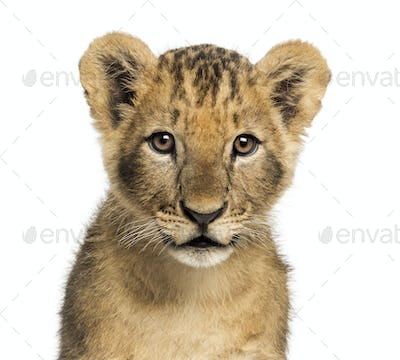 Close-up of a Lion cub looking at the camera, 10 weeks old, isolated on white