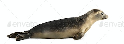 Side view of a Common seal lying, Phoca vitulina, 8 months old, isolated on white