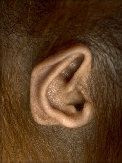 Close-up of young Bornean orangutan's ear, Pongo pygmaeus, 18 months old, isolated on white