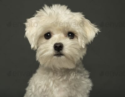 Close-up of a Maltese puppy, isolated on a grey background