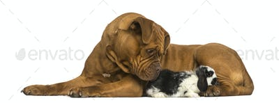 Dogue de Bordeaux and Lop rabbit lying together, isolated on white