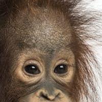 Close-up of a young Bornean orangutan, looking at the camera, Pongo pygmaeus, 18 months old