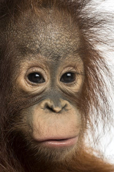 Close-up of a young Bornean orangutan, looking at the camera, Pongo pygmaeus, 18 months old