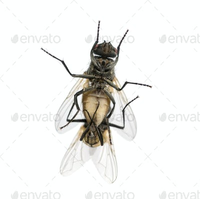View from below of two House flies copulating, Muscidae, isolated on white