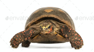 Front view of a Red-footed tortoise, Chelonoidis carbonaria, isolated on white