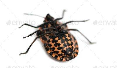Italian Striped-Bug lying on the back, Graphosoma lineatum, isolated on white