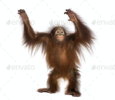 Young Bornean orangutan standing, reaching up, Pongo pygmaeus, 18 months old, isolated on white